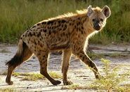 Hyena, West African Spotted