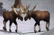 Moose-wildlife-park-2