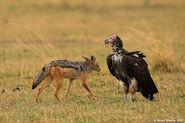 Vultures vs Jackals