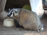 Badger, American