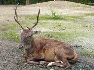 Cervus elaphus barbarus, Tierpark Berlin, 523-629