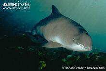 Harbour-porpoise-underwater