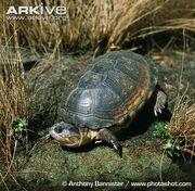 Turtle, East African Black Mud