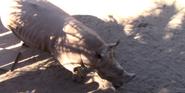 Brevard Zoo Rhino