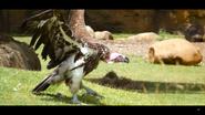 Cincinnati Zoo Lappet-Faced Vulture