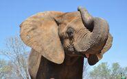 Mikki the Elephant