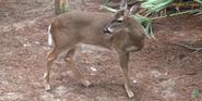 Tampa Lowry Park Zoo Deer
