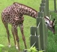 Tronto Zoo Giraffe