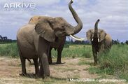 African-elephants-smelling-the-air