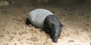 Bronyx Zoo Tapir