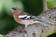 Chaffinch, common