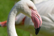 Birds-greater-flamingo-roy-lewis
