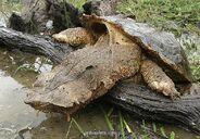 Mata-mata-matamata-turtle-climbing-onto-log-1318333