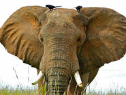 Petition To Stop the African Forest Elephants, the Asian Elephants, and the African Savanna Elephants From Going EXTINCT