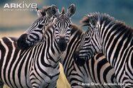 Plains-zebra
