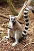 Ring-tailed Lemur 3478