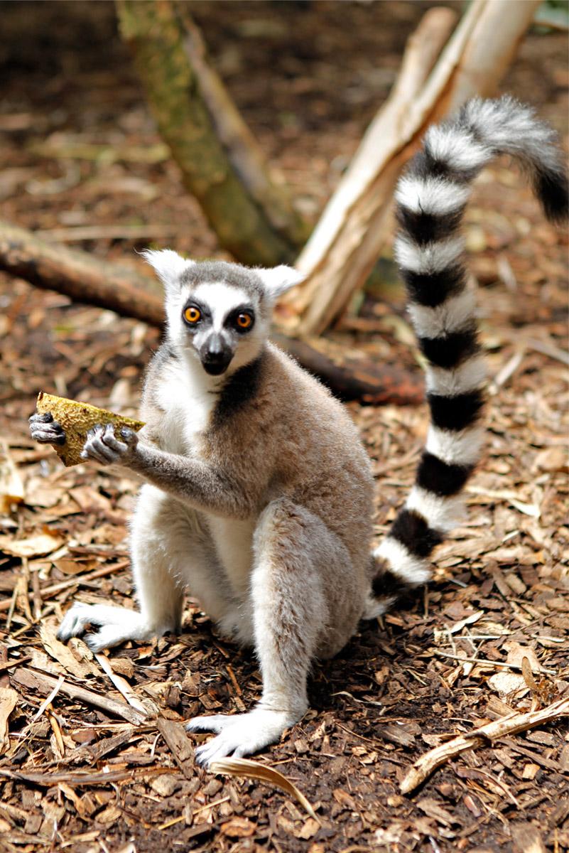 image ring tailed lemur 3478 jpg the parody wiki fandom