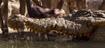 TJB Crocodile