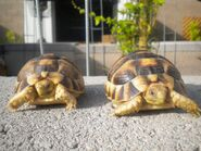 Two male Egyptian tortoises
