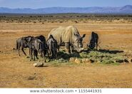Wildebeests and the Rhinoceros