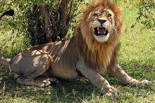 Masai Lion   The Parody Wiki   FANDOM powered by Wikia