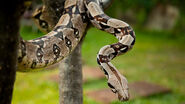 Boa-constrictor-head-down.ngsversion.1396531168805