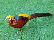 Pheasant, golden