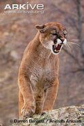 Puma-snarling