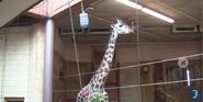 Rodger Williams Park Zoo Giraffe
