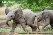 African-elephant-calves-playing