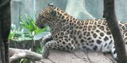 Bronyx Zoo Leopard