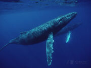 Flip-nicklin-minden-pictures-humpback-whale-megaptera-novaeangliae-pair-underwater-hawaii