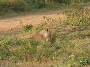 HugoSafari - Lion17