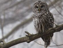 Barred owl granthickey1