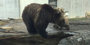 Henry Vilas Zoo Grizzly