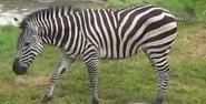 Omaha Zoo Zebra