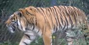 Akron Zoo Tiger