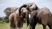 Default-1519656896-elephants-canoodling