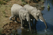 Namibia-two-african-bush-elephants-drinking-water-from-river-elevated-view 1901574