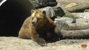 Toronto Zoo Grizzly Bear