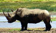 White-rhino-kenya-5