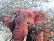 African elephants red elephants white elephants brown elephants asian elephants zoo elephants forest elephants big five big animal safari pictures