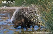 Cape-porcupine-drinking