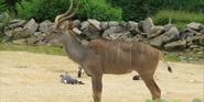 Clochester Zoo Kudu