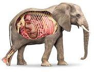 Smithsonian Elephant