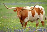 Treats for Texas Longhorns