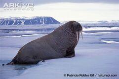 Atlantic-walrus-on-ice-side-view