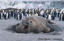 Bull-southern-elephant-seal-on-beach-penguins-in-back-ground