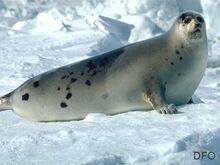 Harp seal (adult)