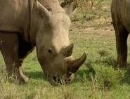 HugoSafari - Rhinoceros02